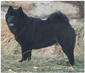 Left Profile - A Chow Chow is standing on tall grass and looking to the left of its body. It has a black tongue to match its black coat