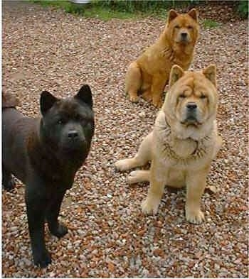 A black Chow Chow and two tan Chow Chows are standing and sitting on a gravelly surface