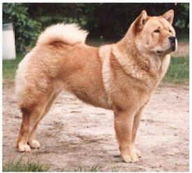 A tan Chow Chow is standing on a dirt path and looking to the left. there is a white border around the edge of the image