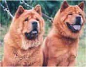 Two red Chow Chows are sitting in a yard. They have black tongues