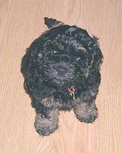 Moses the black with tan Cockapoo puppy is sitting on a hardwood floor