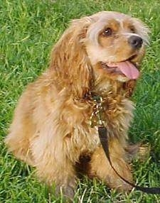 The front right side of a brown American Cocker Spaniel puppy that has its tongue out and it is sitting on grass