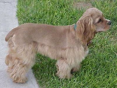 The right side of a brown freshly groomed American Cocker Spaniel puppy that is standing with its front half on grass and its back half on a sidewalk