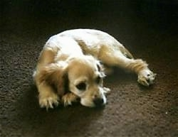 A tan American Cocker Spaniel is laying down in the middle of a carpet