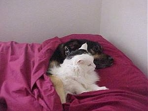 A large black with tan dog is laying in a human's bed under red covers next to a white with black cat. The dog has its paw over the cat.