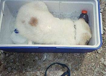 Chico the Great Pyrenees Puppy is digging through ice in a cooler