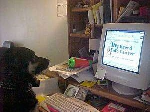 A black and tan Dog is sitting at a computer desk and it is looking at a monitor and on the monitor is the DogBreedInfo website.