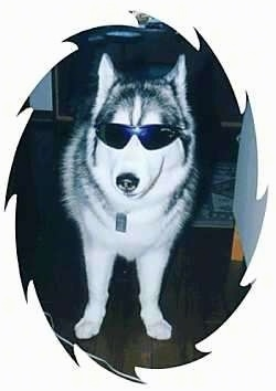 A husky is standing in a room next to a couch and is wearing sunglasses. The image is cropped in an oval that has jagged edges.