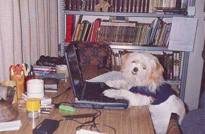 A little white fluffy dog at an office table wearing a shirt with its paws on the laptop. There is a bookshelf next to it and office supplies all over the desk in front of it.