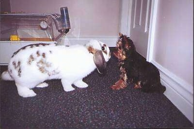 A little black and brown puppy is sitting in front of a white with black and brown rabbit. They are face to face. There is a rabbit cage behind them.