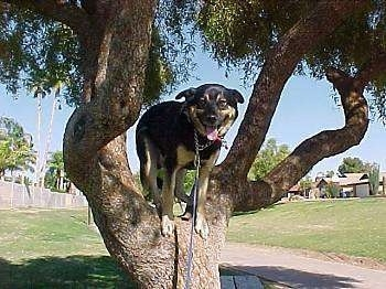 A black with tan dog is standing up in a tree. Its mouth is open and tongue is out