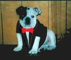 A white with black Bulldog is sitting on a carpet against a wooden wall wearing a tuxedo with a red bow tie