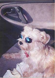 A little tan dog with a bone tag hanging from its collar is wearing sunglasses laying in the passenger seat of a car