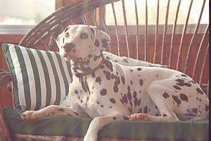 Dalmatian Dog Breed Pictures 1