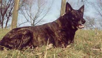 Lothar the black brindle Dutch Shepherd is laying in a field and its mouth is open and tongue is out with his eyes squinted.