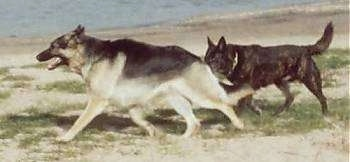 A German Shepherd and a Dutch Shepherd are running across grassy patched sand in front of a body of water