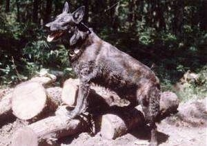 Lothar the Dutch Shepherd is standing on a pile of logs with his mouth open and tongue showing.