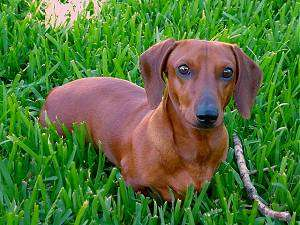 red Dachshund dog in green grass