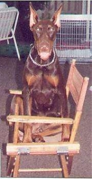Cochise the brown and tan Doberman Pinscher is sitting on a wooden chair outside. Its mouth is open. It looks like he is smiling. There is a dog crate and a white lawn chair behind him.