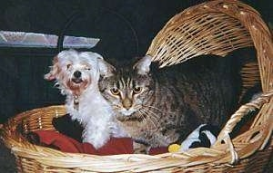 Shadow the gray tiger cat and Noel the Maltese are standing together in a brown wicker basket