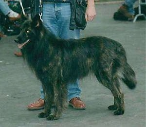 Flint v.d. Drei Eidgenossen the black brindle Dutch Shepherd is standing outside in front of a person who is holding its leash