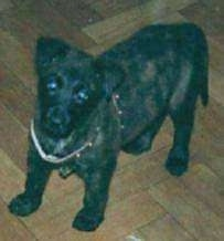 Lothar the black brindle Dutch Shepherd puppy is standing on a hardwood floor and looking up