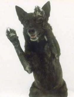 Lothar the Dutch Shepherd is jumping up in the air with his belly showing and his front paws on each side of his head.
