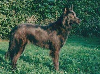 Miss Cilli the Dutch Shepherd is standing outside in a grassu yard. There is a line of green bushes behind it.