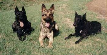 A German Shepherd with his tongue out is laying the middle of two Dutch Shepherds. The Dutch Shepherd on the left has his tongue out.