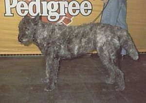 A gray wire-haired Dutch Shepherd is walking on a leash past a yellow sign that is advertising the Pedigree product.