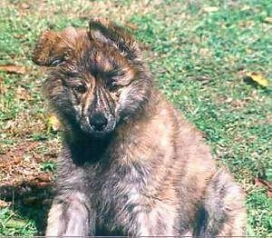 Sam the fluffy brown brindle Dutch Shepherd puppy is sitting in a field and looking down.