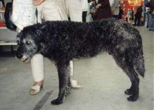 A black and gray wire-haired Dutch Shepherd is standing in a submissive stance with his head and tail low. There is a person in white pants behind it and more people in the background.