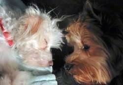 Close Up head shots - A white Chinese Crested dog is sleeping head to head in front of a brown and black Yorkshire Terrier