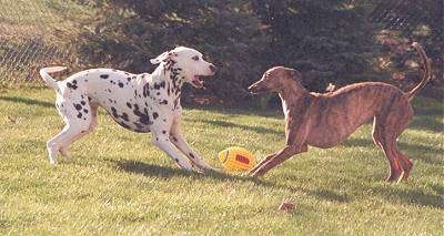 Action shot - A Dalmatian and a brown brindle Whippet dog are face to face play bowing in a grassy yard. There is a yellow with red football next to them. The Dalmatians mouth is open