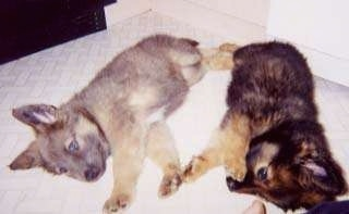 A tan German Shepherd puppy is laying on its left side in front of another black and tan German Shepherd puppy. They are touching paws