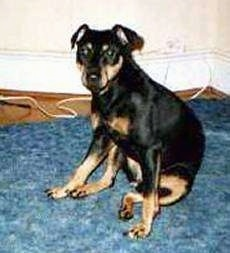 A black with tan German Hunting Terrier is sitting on a blue carpet and looking forward