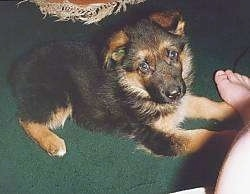A black and tan German Shepherd puppy is laying on a green carpet in front of a foot