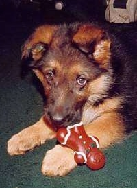 A black and tan German Shepherd puppy is laying on a green carpet and there is a gingerbread man toy in its mouth