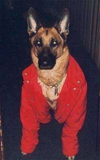 A black and tan German Shepherd is wearing a large red jacket