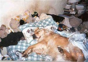 A Golden Retriever is laying on a humans bed with plush toys all over it. The wall behind the bed has dirt on it.