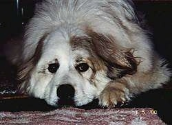 Close Up - A white with tan Great Pyrenees is laying down on top of a rug