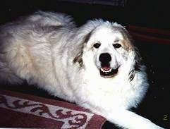 A white with tan Great Pyrenees is laying on a rug looking up happy with its mouth parted.