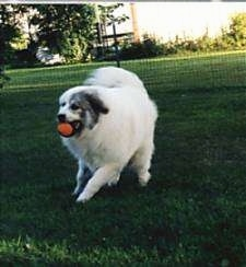 A white with tan Great Pyrenees is running across a yard with a red ball in its mouth
