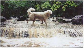 A Great Pyrenees is running across a stream of water that has a water fall