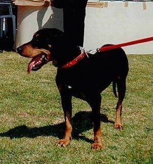A panting black and tan Greek Hound is standing in grass in front of a white wall with a person in black behind it.