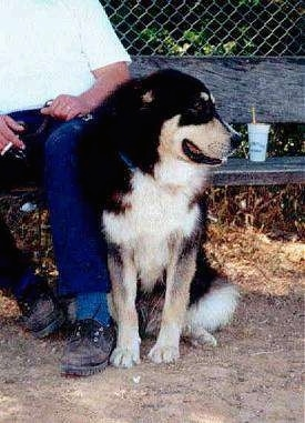 A black with white and tan Greek Sheepdog is sitting outside next to a person on a wooden bench smoking a cigarette.