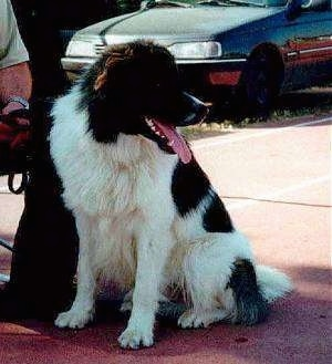 A black and white Greek Sheepdog is sitting in front of a person sitting on a bench. There is a vehicle in the background. Its mouth is open and tongue is out