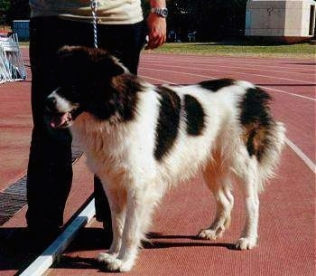 A white with black Greek Sheepdog is standing on a race track. There is a person standing behind it
