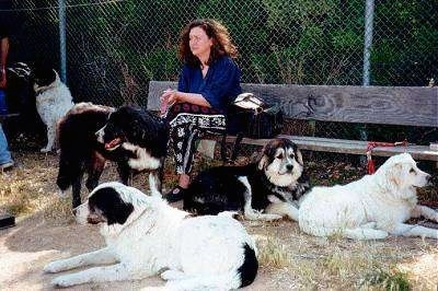 A lady is sitting on a wooden bench in front of a chain link fence. There are three dogs laying next to her and a dog standing in front of her