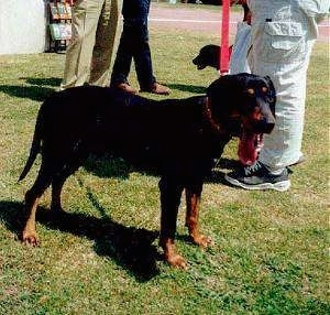 A panting black and tan Greek Hound is standing in grass with people behind it.